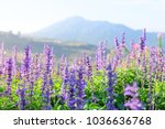 selective focus  lavender...   Shutterstock . vector #1036636768