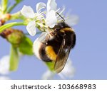 A Bumblebee On A White Flower