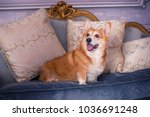 english fashionable breed of... | Shutterstock . vector #1036691248