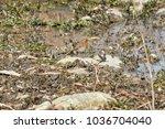 robin bird erithacus rubecula | Shutterstock . vector #1036704040
