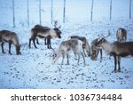 Group herd of caribou reindeers pasturing in snowy landscape, Northern Sweden near Norway border, Lapland