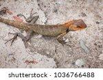 Small photo of Oriental Garden Lizard or Changeable Lizard (Calotes versicolor).