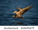 a white tailed eagle in flight  ... | Shutterstock . vector #103690679