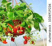 Potted Garden Ripe Strawberry...