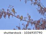 Two Little Birds Linnet On The...