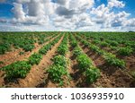 rows on the field. agricultural ...   Shutterstock . vector #1036935910