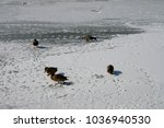 wild birds lie on a frozen... | Shutterstock . vector #1036940530