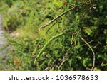 stick insect native to... | Shutterstock . vector #1036978633