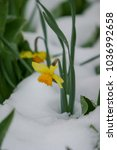 Daffodil Flower After A Large...
