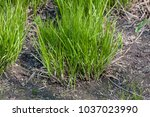 small patch of young and fresh...   Shutterstock . vector #1037023990