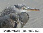 a stunning head shot of a grey...   Shutterstock . vector #1037032168