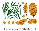 isolated berries  twigs and... | Shutterstock .eps vector #1037037454