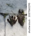 Small photo of clear racoon print in snow