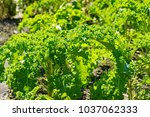 A Background Of Curly Green...