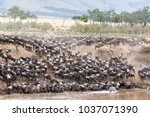 Small photo of Zebra mingle with thousands of wildebeest on the banks of the Mara River during the great migration. In the Masai Mara, Kenya. Every year 1.5 million wildebeest make the trek from Tanzania to Kenya