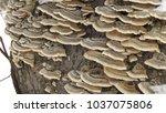 Turkey Tail Fungi  Trametes...