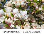 Flowering Magnolia Tulip Tree....