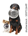 Stock photo portrait of a cute purebred rottweiler and chihuahua and his food bowl 103711649