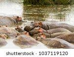 common hippopotamus ... | Shutterstock . vector #1037119120