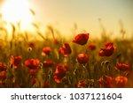 poppies at sunset  poppy field | Shutterstock . vector #1037121604