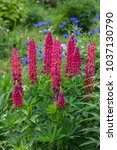 red lupins in a garden | Shutterstock . vector #1037130790