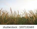 tall wheat grass   Shutterstock . vector #1037132683