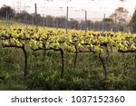 vineyard in tuscany  in the... | Shutterstock . vector #1037152360