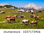 the cows and herdsmen's huts on ... | Shutterstock . vector #1037173906