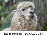 alpaca in the peruvian andes | Shutterstock . vector #1037198254