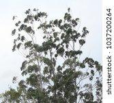 Small photo of eucalyptus tree background