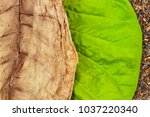 Small photo of Tobacco green and dry leaves on tobacco dry leaf cut background. Tobacco leaves of different ripeness on dry chopped tobacco background