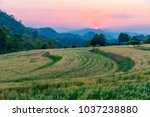 barley field in golden glow of... | Shutterstock . vector #1037238880