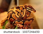 Small photo of Python (Latin Pythonidae) is a family of non-venomous snakes. Sizes python range from 1 to 6-7 m (mesh python). Often pythons settle near water; well swim and dive.
