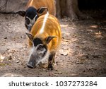 Image Of Red River Hog On The...