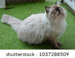Himalayan Cat With Blue Eyes O...
