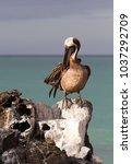 brown pelican  pelecanus... | Shutterstock . vector #1037292709