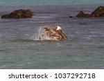 brown pelican  pelecanus...   Shutterstock . vector #1037292718