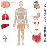 human organs on white... | Shutterstock .eps vector #1037315410