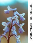 Long Spurred Orchid  Anacampti...