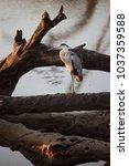 black headed heron  ardea...   Shutterstock . vector #1037359588