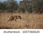 spotted hyena in masai mara | Shutterstock . vector #1037360620