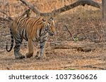 the bengal tiger is the most... | Shutterstock . vector #1037360626