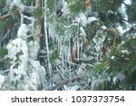 Frozen Pine Branches Covered...
