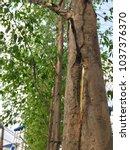 Small photo of An eucalyptus tree