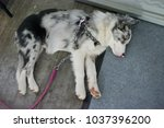 beautiful husky hybrid  | Shutterstock . vector #1037396200