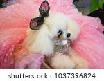 pomeranian in beautiful dress | Shutterstock . vector #1037396824
