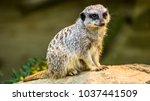 Cute Meerkat On The Watch