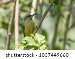 a perched variable sunbird in... | Shutterstock . vector #1037449660