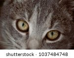 feline face   close up view | Shutterstock . vector #1037484748