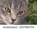 feline face   close up view | Shutterstock . vector #1037484754